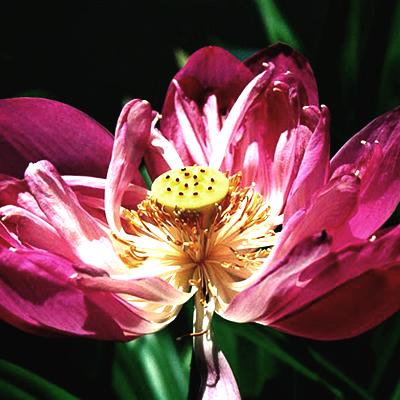 013 lotusblomma